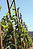 Côte-Rôtie, Jeunes vignes sur échalas